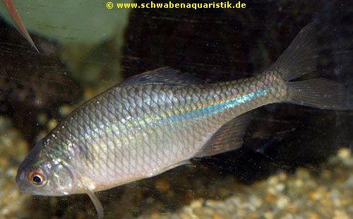 Goldfische teichfische fotogalerie von for Teichfische algenfresser